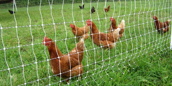 Chickens protected by an electrified fence