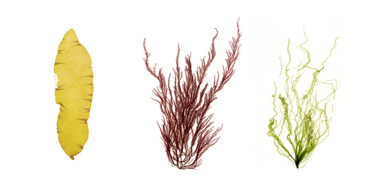 pressed seaweed for STEAM page
