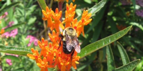 Celebrate Pollinators