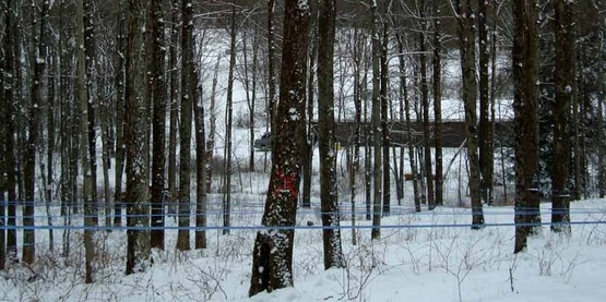 maple trees in a sugar bush, photo from the Cornell Maple Program