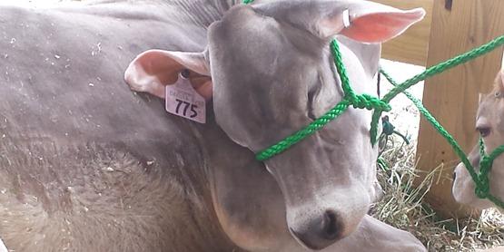 4-H calf sale