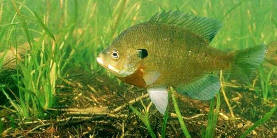 Bluegill reproduce easily and small bluegill provide food for the 