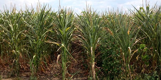 Corn crop during drought of 2012 in central Illinois