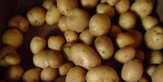 Fresh Market Potato Varieties, and Disease & Insect Management