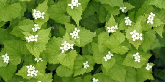 and invasive plants (Garlic Mustard).