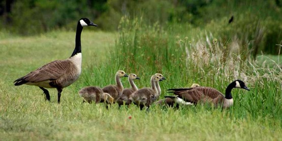 Canadian geese are a common nuisance species in our area.