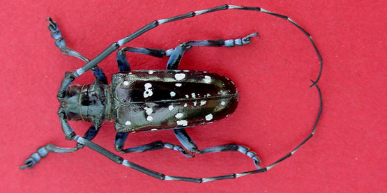 Visit our pages to learn about invasive pests (Asian Longhorn Beetle)...