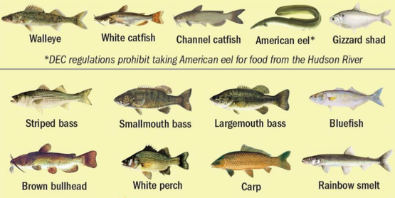 Fishes of the Lower Hudson