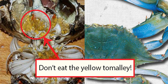 Blue Crab, Yellow Tomalley, Don't eat.