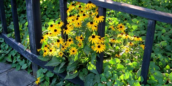 Black-eyed susans / Rudbeckia growing through a fence