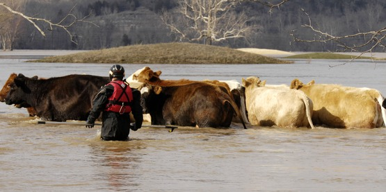 Eureka, MO, 03/22/2008 -- Members of the Missouri Humane Society along with a volunteer large animal rescue group, Missouri Emergency Response Service, go out on a mission to rescue 13 cattle that were stuck in flood waters. A member of the team prompts the cattle to go in the direction of higher ground.