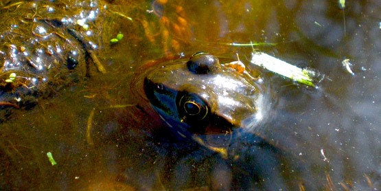 Green frog (Rana clamitans) sitting in a pond