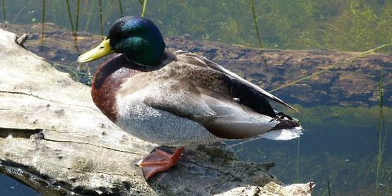 A Mallard rests on a log