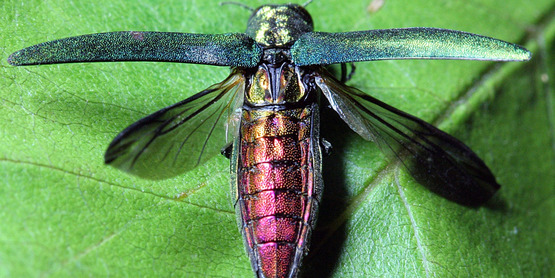 Visit our pages to learn about invasive pests (Emerald Ash Borer)...