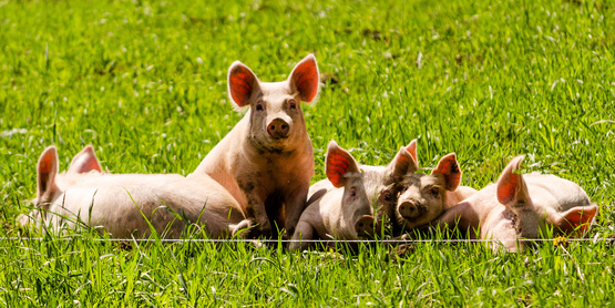 Pigs in a field