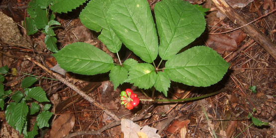 American Ginseng with foliage and berries