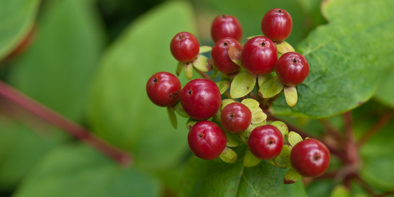 Collecting wild berries is a great way to utilize natural resources
