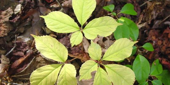 Ginseng foliage