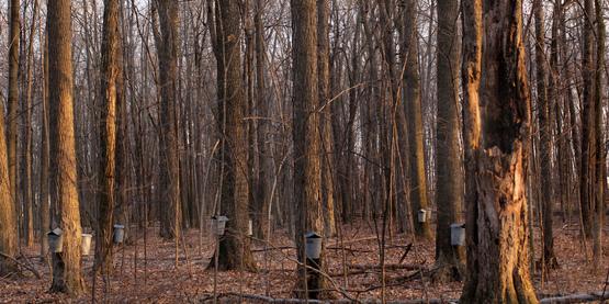 Tree Sap Drip Buckets