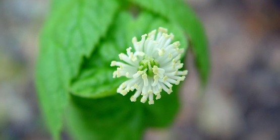 Goldenseal foliage and flower