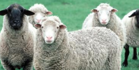 Small Ruminants for Beginners (Goats and Sheep)