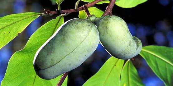 Asimina triloba —Pawpaw tree; fruit; paw paw; paw-paw