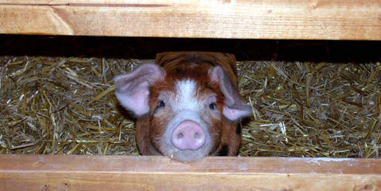 Pigs can be grown for show or for their many by products.