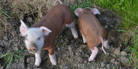 Hereford Hog Piglets
