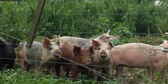 Pasture Pork