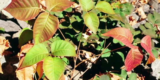 Eastern poison ivy (Toxicodendron radicans)