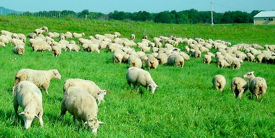 Sheep grazing, from the Cornell Sheep Program website