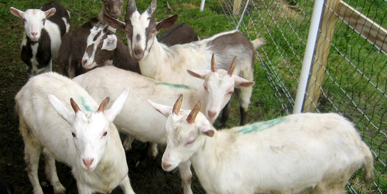 Different breeds of goats can be raised for meat, milk or fiber.