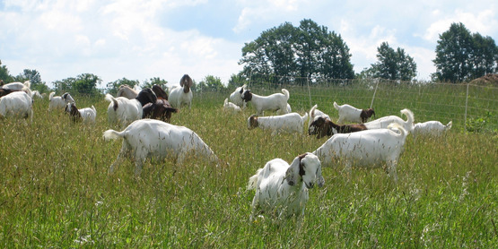 Goats can be raised for their milk, fur or other natural byproducts