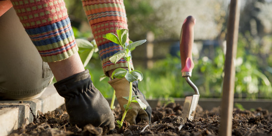 a gardener planting beans