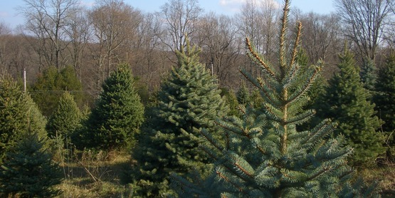 cornell cooperative extension local christmas trees