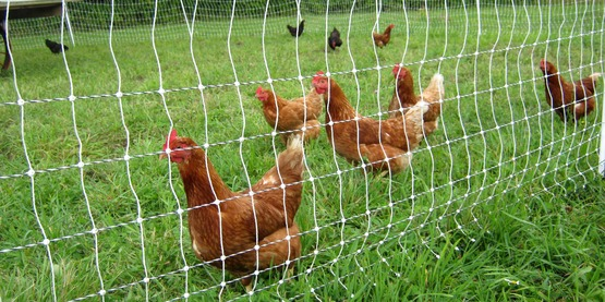 pastured poultry at Quinn's Irish Hill Farm, Freeville NY (Tompkins)