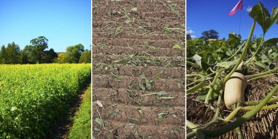 'Caliente' mustard crop> chopped and incorporated for biofumigation> squash in rolled rye