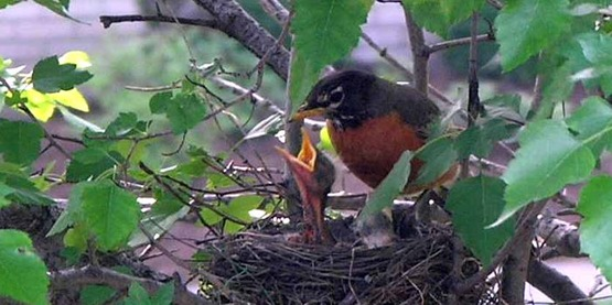 American Robin with its young