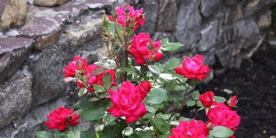 Growing Roses in Rockland County