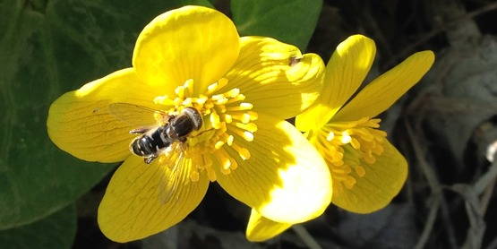 Syrphid fly (also called bee fly) on Marsh Marigold