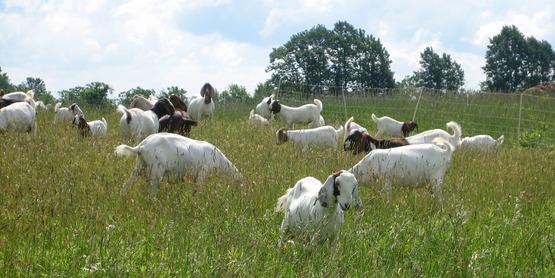 Meat Goats, Trumansburg NY