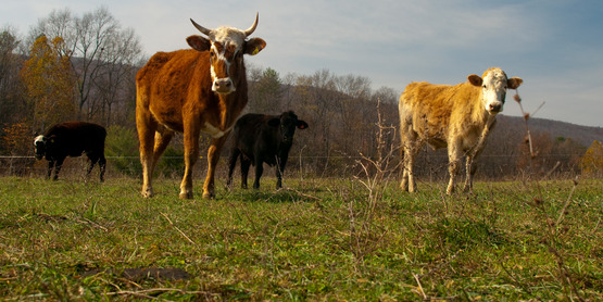 Beef cattle at Polyface Farm, Va.