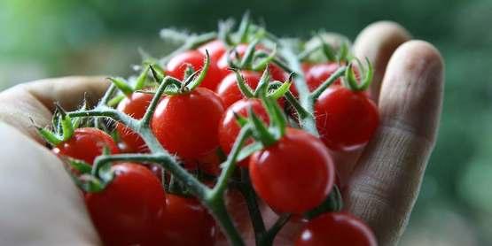 Vegetable Gardening & Growing Tomatoes Successfully