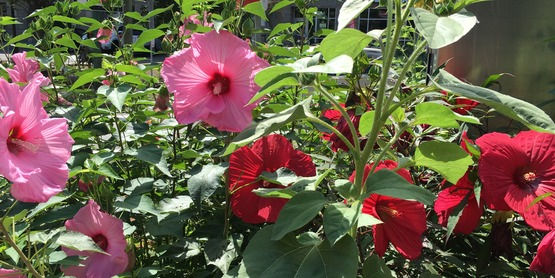 Hardy Hibiscus at Sign Triangle