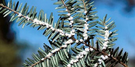 Hemlock Woolly Adelgid in Monroe County and New York State