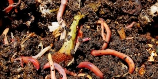 Worm Composting for Parents & Children