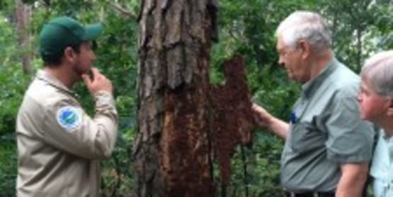 Above: John Wernet, DEC Forester, shows the damage caused by                                 Southern Pine Beetle on Long Island. Photo by Steve Young.