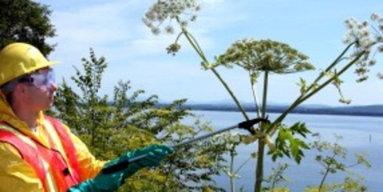 Adirondack Park Invasive Plant Program staff respond swiftly to reports of giant hogweed, a noxious invasive plant that can burn and blind humans.