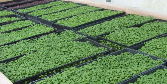 Microgreens in Trays