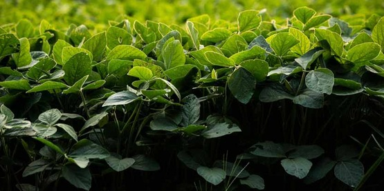 soybeans at Hill and Dale Farm in Berryville, VA, on Tuesday, July 7, 2015.  USDA photo by Lance Cheung.